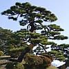Сосна Тунберга для Бонсай 2 річна, Сосна Тунберга / Японская черная сосна, Pinus thunbergii, фото 4