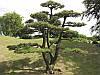 Сосна Тунберга для Бонсай 2 річна, Сосна Тунберга / Японская черная сосна, Pinus thunbergii, фото 5