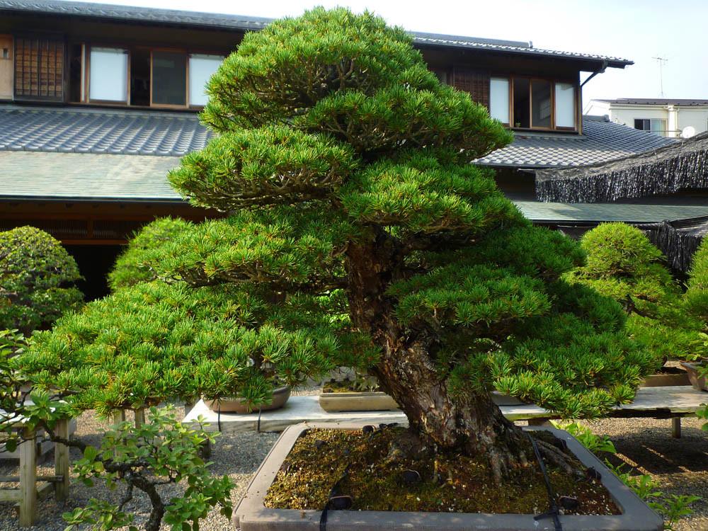 Сосна Тунберга для Бонсай 2 річна, Сосна Тунберга / Японская черная сосна, Pinus thunbergii