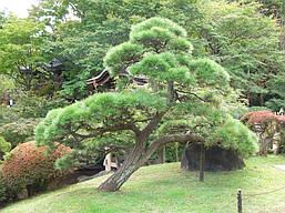 Сосна Тунберга для Бонсай 2 річна, Сосна Тунберга / Японская черная сосна, Pinus thunbergii, фото 3