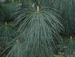 Сосна Гімалайська / Гріффіта 2 річна, Сосна гималайская / Гриффита, Pinus wallichiana / griffithii, фото 3