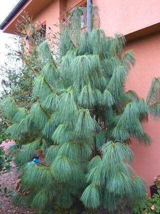 Сосна Гімалайська / Гріффіта 2 річна, Сосна гималайская / Гриффита, Pinus wallichiana / griffithii, фото 2