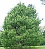 Сосна Гімалайська / Гріффіта 2 річна, Сосна гималайская / Гриффита, Pinus wallichiana / griffithii, фото 4