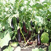 МАБЕЛ F1 - семена баклажана, 500 семян, Enza Zaden, фото 1