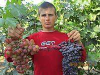 Саженцы винограда Розмус (корнесобственные)
