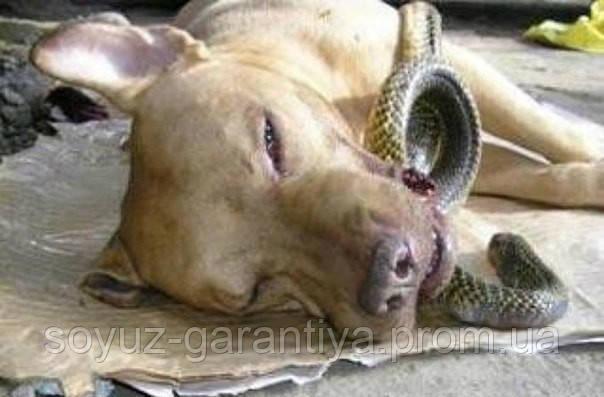 Питбуль ценой своей жизни спас двух женщин от ядовитой кобры