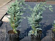Кипарисовик лавсона Колумнарис ( р9 12-12см) саженцы, фото 2