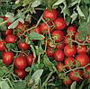 2206 F1 - семена томата, Lark Seed