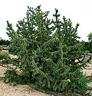 Сосна Остиста 2 річна, Сосна Остистая, Pinus aristata