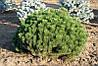 Сосна гірська карликова Mughus 3 річна, Сосна горная / карликовая Мугус, Pinus mugo Mughus, фото 6