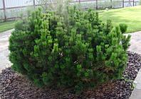 Сосна гірська карликова Mughus 3 річна, Сосна горная / карликовая Мугус, Pinus mugo Mughus