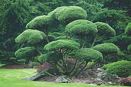 Сосна гірська карликова Mughus 3 річна, Сосна горная / карликовая Мугус, Pinus mugo Mughus, фото 2