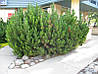 Сосна гірська карликова Mughus 3 річна, Сосна горная / карликовая Мугус, Pinus mugo Mughus, фото 3