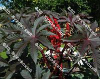 Клещевина 10 семян