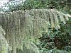 Ялина Бревера плакуча, Ель Бревера / Брюэра, Picea breweriana, фото 4