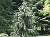 Ялина Бревера плакуча, Ель Бревера / Брюэра, Picea breweriana, фото 5