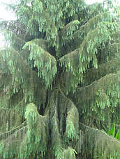 Ялина Бревера плакуча, Ель Бревера / Брюэра, Picea breweriana, фото 2