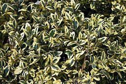 Самшит вічнозелений Еlegans 2 річний, Самшит вечнозеленый Элеганс, Buxus sempervirens elegans, фото 3