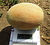 ДАКАРО F1 - семена дыни, 500 семян, Enza Zaden
