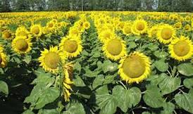 Семена подсолнечника Дует Clearfield (MAY)