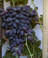Саженцы винограда Академический (корнесобственные)