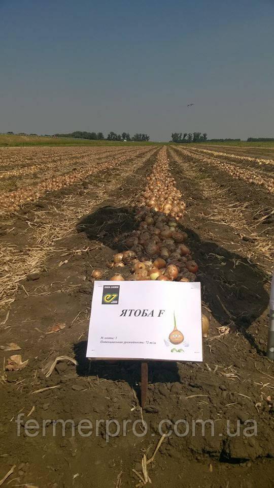 Семена лука Ятоба F1 \ Jotaba F1 250.000 семян Enza Zaden