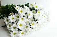 Хризантема кустовая (цветы)