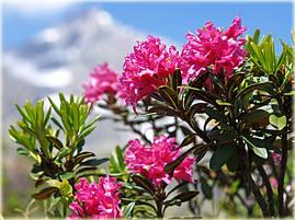 Рододендрон ржавий Альпійська Роза 2 річний, Рододендрон ржавый / Альпийская роза Rhododendron Alpіnе rose, фото 3