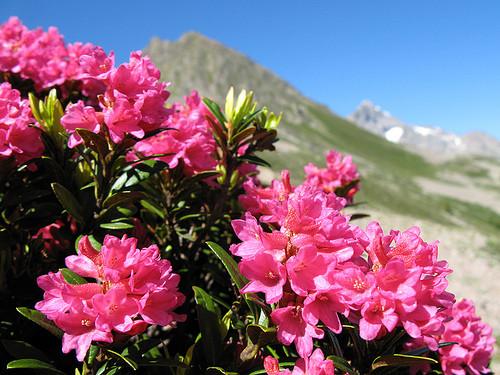 Рододендрон ржавий Альпійська Роза 2 річний, Рододендрон ржавый / Альпийская роза Rhododendron Alpіnе rose