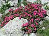 Рододендрон ржавий Альпійська Роза 2 річний, Рододендрон ржавый / Альпийская роза Rhododendron Alpіnе rose, фото 2