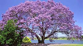 Павловнія 1 річна, Павловния / Драконовое дерево / Адамово дерево, Paulownia, фото 3
