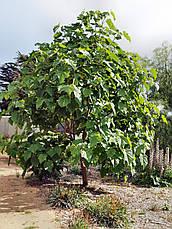 Павловнія 1 річна, Павловния / Драконовое дерево / Адамово дерево, Paulownia, фото 2