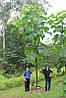 Павловнія 1 річна, Павловния / Драконовое дерево / Адамово дерево, Paulownia, фото 4