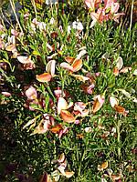 Ракитник - Cytisus Zeelandia (высота 40см, горшок 2л)