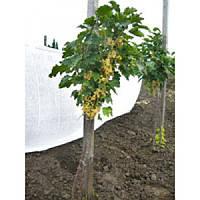 Смородина белая - Ribes niveum (Pa 100см, горшок 5л)