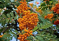 Рябина - Sorbus (желтая) (Pa 160-180см, горшок 30л)