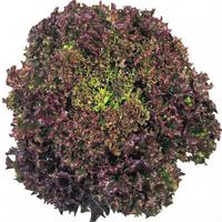 Семена салата Революция. Упаковка 5 000 семян. Производитель Bayer Nunhems