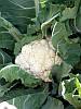 Семена капусты цветной Кердос F1 (1000 c)