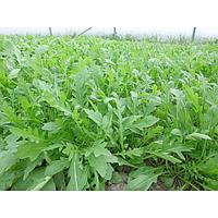 Семена салата Парманс 5000 семян, Enza Zaden
