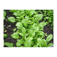 Семена шпината Корвер F1 100 000 сем. Енза Заден