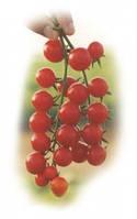 Семена томата Сомма F1. Упаковка 1 000 семян. Производитель Bayer Nunhems