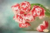 Бокэ. Тюльпаны Андорра