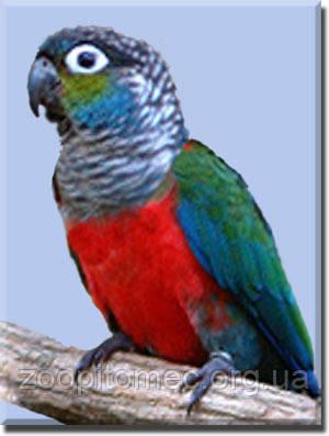 Жемчужный попугайчик или голубощекий пиррура Pyrrhura perlata