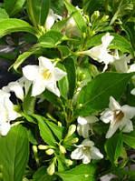 Саженцы Вейгела гибридная Candida (Weigella Candida) - 3л. цветы белые.