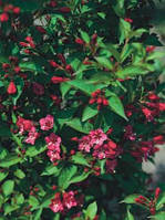 Саженцы Вейгела гибридная Newport Red (Weigela Newport Red) - 3л. цветы розовые.