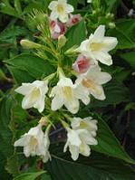 Саженцы Вейгела цветущая Alba (Weigela florida Alba) - 3л. цветы красные.