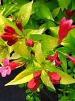 Саженцы Вейгела цветущая Aurea (Weigela florida Aurea) - 3л. цветы ярко розовые .