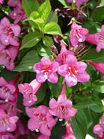 Саженцы Вейгела цветущая Boskoop Glory (Weigela 'Boskoop Glory') - 3л. цветы розово-красный.