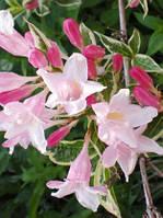 Саженцы Вейгела цветущая Splendid (Weigela florida «Splendid») - 3л. цветы бело розовые.