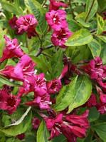 Саженцы Вейгела цветущая Brigela (Weigela florida 'Brigela') - 3л. цветы ярко рубиновые.